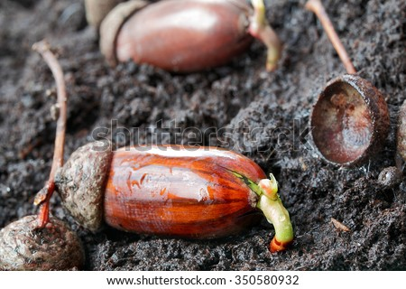 Acorn, power of nature, spring and easter - stock photo