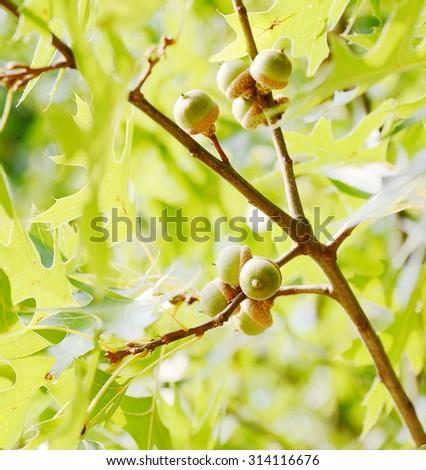 Acorn tree - stock photo