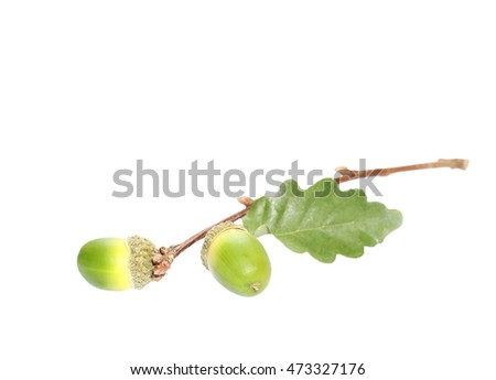 Acorn with leaf isolated on white background