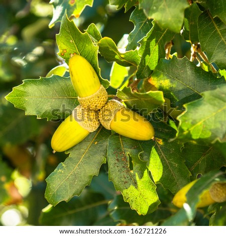 acorns on a tree - stock photo