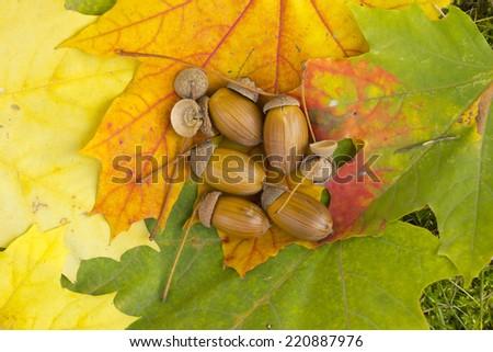 Acorns on autumn colored leaves - stock photo