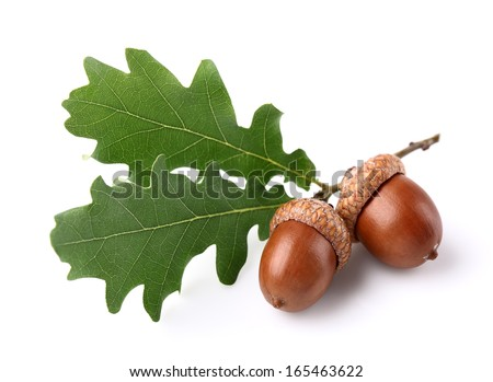 Acorns with leaves - stock photo