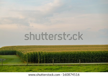 Acres and acres of fresh, amish country corn in a amish cornfield stand ready for picking Acres and acres of fresh amish country unpicked corn  - stock photo