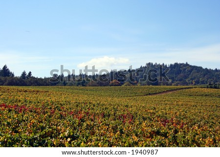 Acres of autumn colored vineyards - stock photo