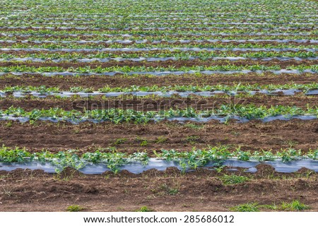 Acres planted watermelon, which is covered with plastic and watered with PVC pipe. - stock photo