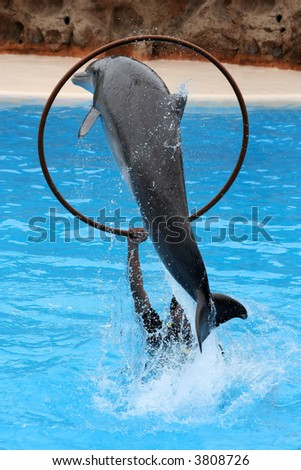 Acrobat dolphin jumping between a hoop - stock photo