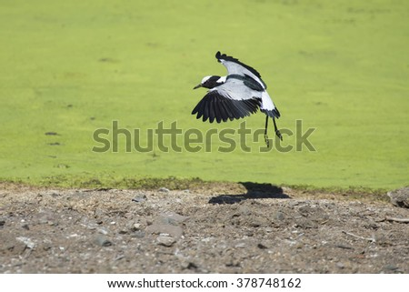 Acrobatic blacksmith plover landing on the shore of a lake covered with green algae - stock photo