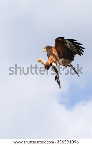 Acrobatic Harris Hawk. A magnificent Harris hawk strikes an acrobatic pose as it plucks something out of the air. - stock photo