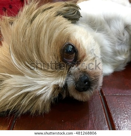 Act CUTE of adorable dog sleeping on the wood plank floor