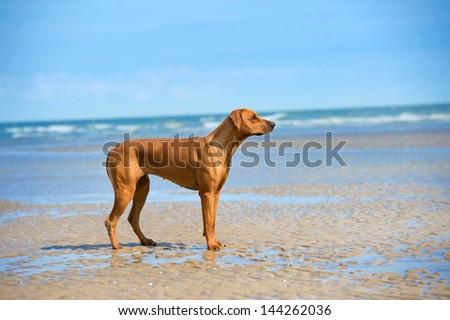 Active athletic dog puppy rhodesian ridgeback running at the sea - stock photo