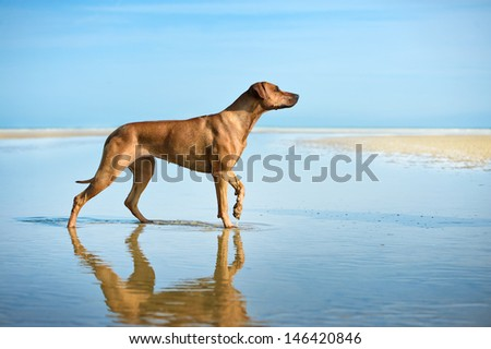Active athletic dog puppy running at the sea - stock photo