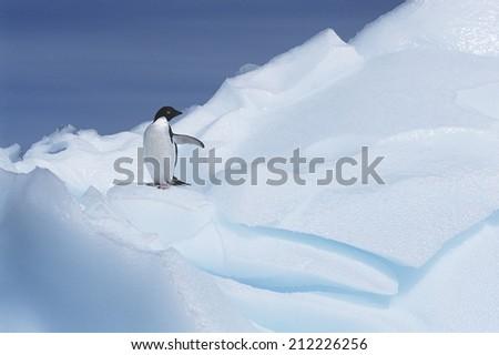 Ad���©lie Penguin (Pygoscelis adeliae) on glacier - stock photo