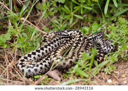 Adders coiled together in the grass - stock photo