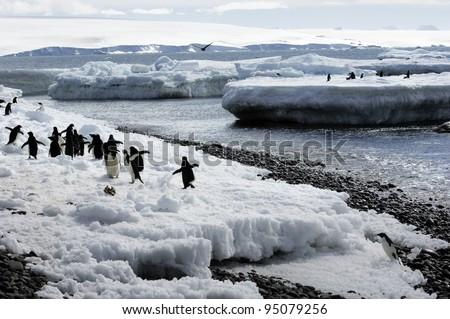 Adelie Penguin (Antarctic Expedition) - stock photo