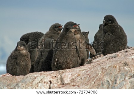 Adelie Penguin chicks - stock photo