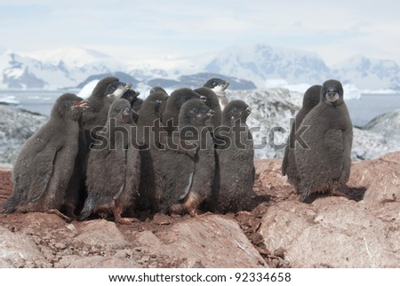 Adelie penguin chicks group on the rocks in the colony. - stock photo