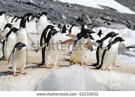 Adelie Penguin Colony taken at Antarctica. Taken at Hope Bay on a sunny day with snow and ice in background. - stock photo