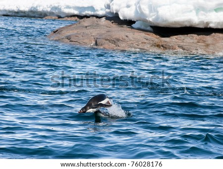 Adelie Penguin leaping out of the water. Commonwealth Bay, Antarctica. - stock photo
