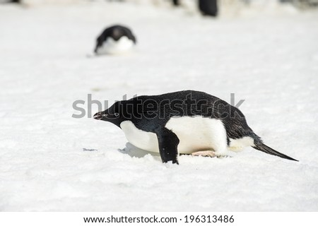 Adelie penguin (Pygoscelis adeliae) in Antarctica - stock photo