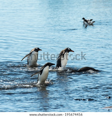 Adelie penguin (Pygoscelis adeliae) play in the water looking for the fish - stock photo