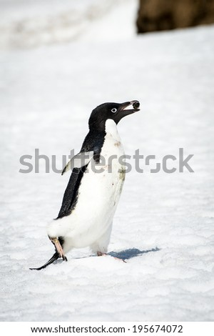 Adelie penguin (Pygoscelis adeliae) witha stone in a beak - stock photo