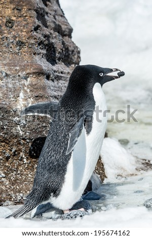 Adelie penguin (Pygoscelis adeliae) witha stone in a beak near a rock on the snow - stock photo