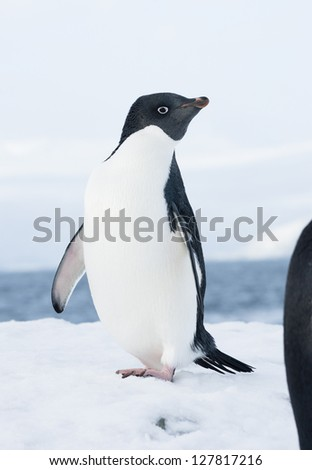 Adelie penguin standing on a ski slope in the evening. - stock photo
