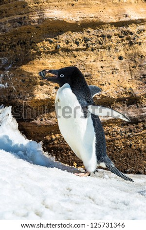 Adelie penguin with a stone in a beak, in Antarctica. - stock photo