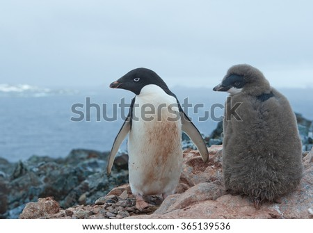 Adelie penguin with chick standing on rocky hill, looking at the sea, Antarctica, Antarctic Peninsula - stock photo