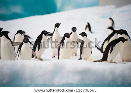 Adelie penguins colony on the iceberg Antarctica