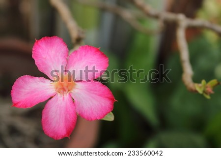adenium  flowers in garden, It like dry weather. - stock photo