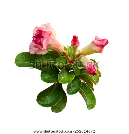 Adenium obesum is a species of flowering plant in the dogbane family, Apocynaceae. - stock photo