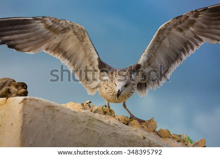 Adolescent gulls on the roof of a house in Essaouira, Morocco. - stock photo