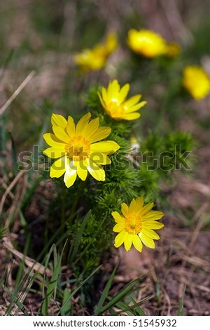 Adonis vernalis flower in the nature - stock photo