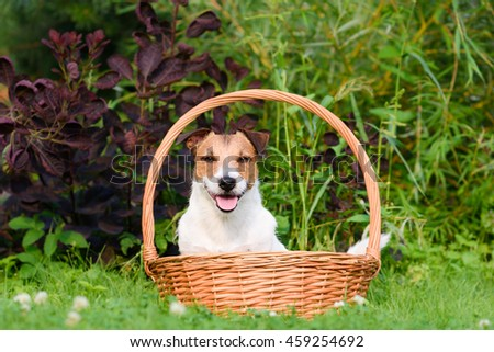 Adopt a dog. Cute terrier in basket looking at camera