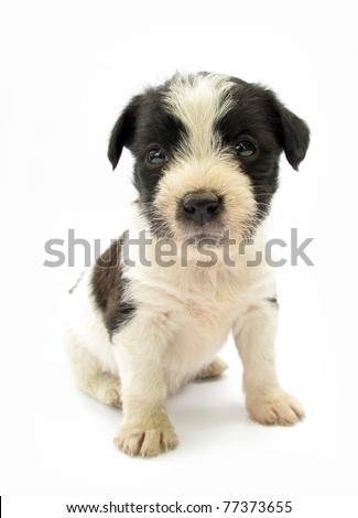 Adopted pariah dog puppy black and white - stock photo