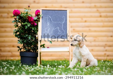 adorable afghan hound puppy teaching about the breed - stock photo