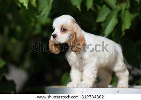adorable american cocker spaniel puppy standing outdoors - stock photo