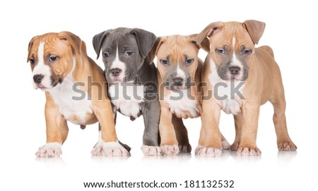 adorable american staffordshire terrier puppies - stock photo