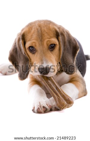 Adorable and cute beagle pup chewing on a bone