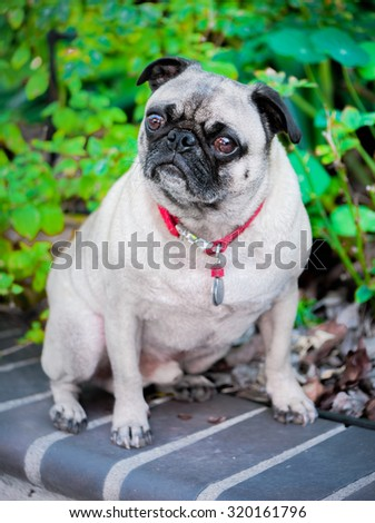Adorable and cute pug dog portrait. - stock photo