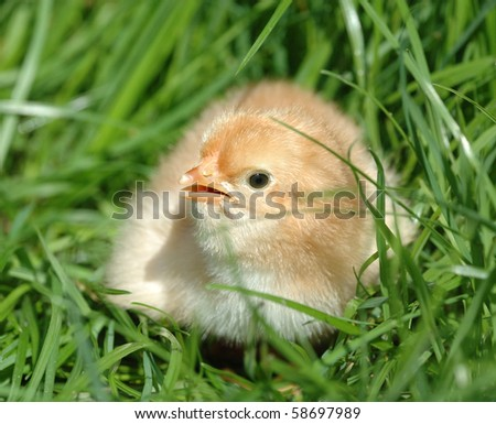 Adorable and little chick on the green grass