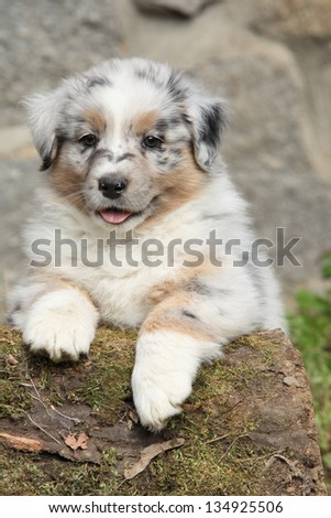 Adorable australian shepherd puppy smiling in front of stone wall - stock photo