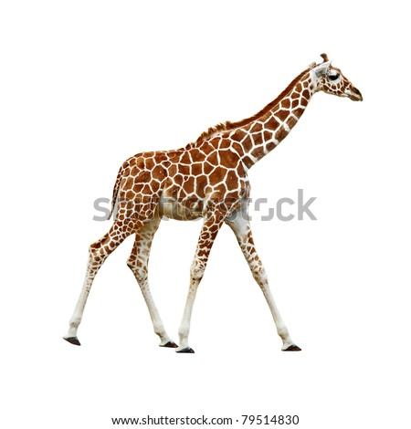 Adorable baby Giraffe walking, isolated white background - stock photo