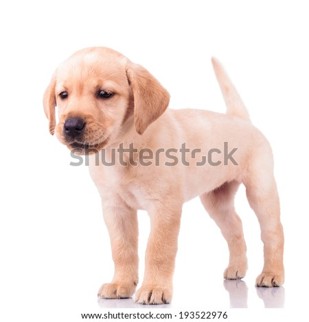 adorable barking little labrador retriever puppy dog standing on white background - stock photo