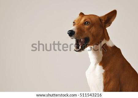 Adorable Brown White Basenji Dog Smiling Stock Photo ...