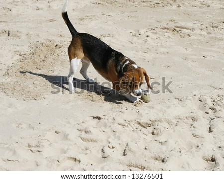 Adorable beagle playing in the sand - stock photo