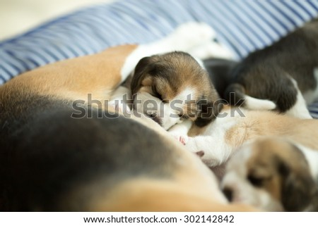 Adorable Beagle Puppy's drinking milk from mom (Soft Focus) - stock photo