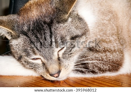 Adorable Bengal Siamese Cat Posing Beautifully Laying Around - stock photo
