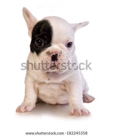 Most Inspiring Bulldog Black Adorable Dog - stock-photo-adorable-black-and-white-french-bulldog-puppy-with-patch-on-eye-isolated-on-white-182245358  Image_684489  .jpg